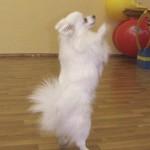 дрессированные собачки на день рождение