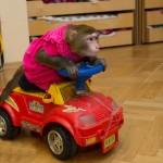 дрессированная обезьяна на праздник